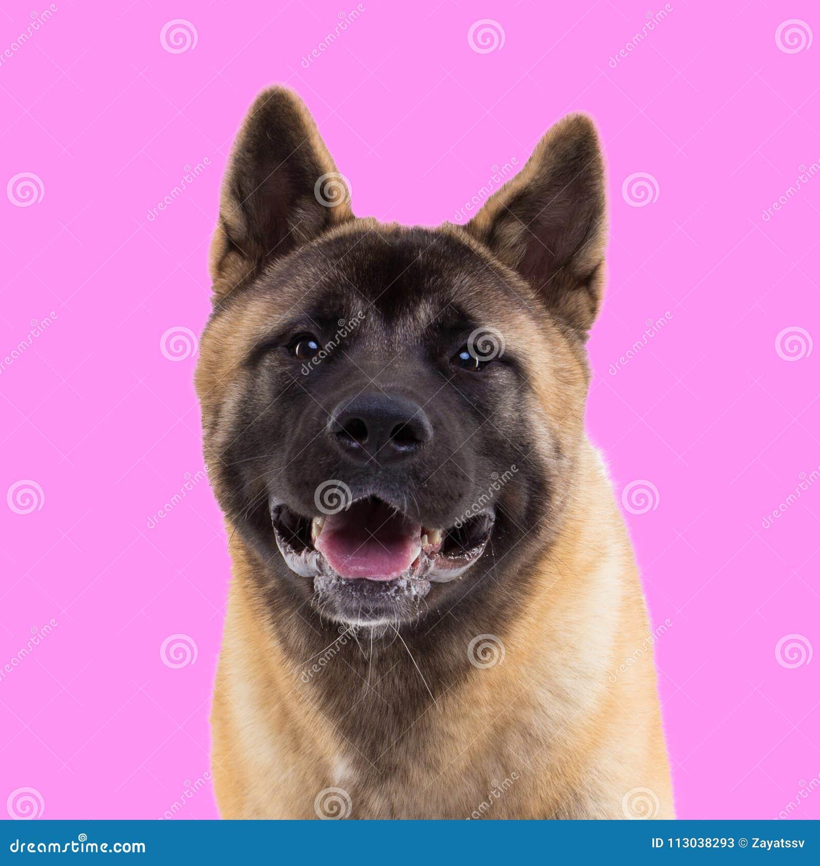 Portrait d Américain akita sur le fond rose