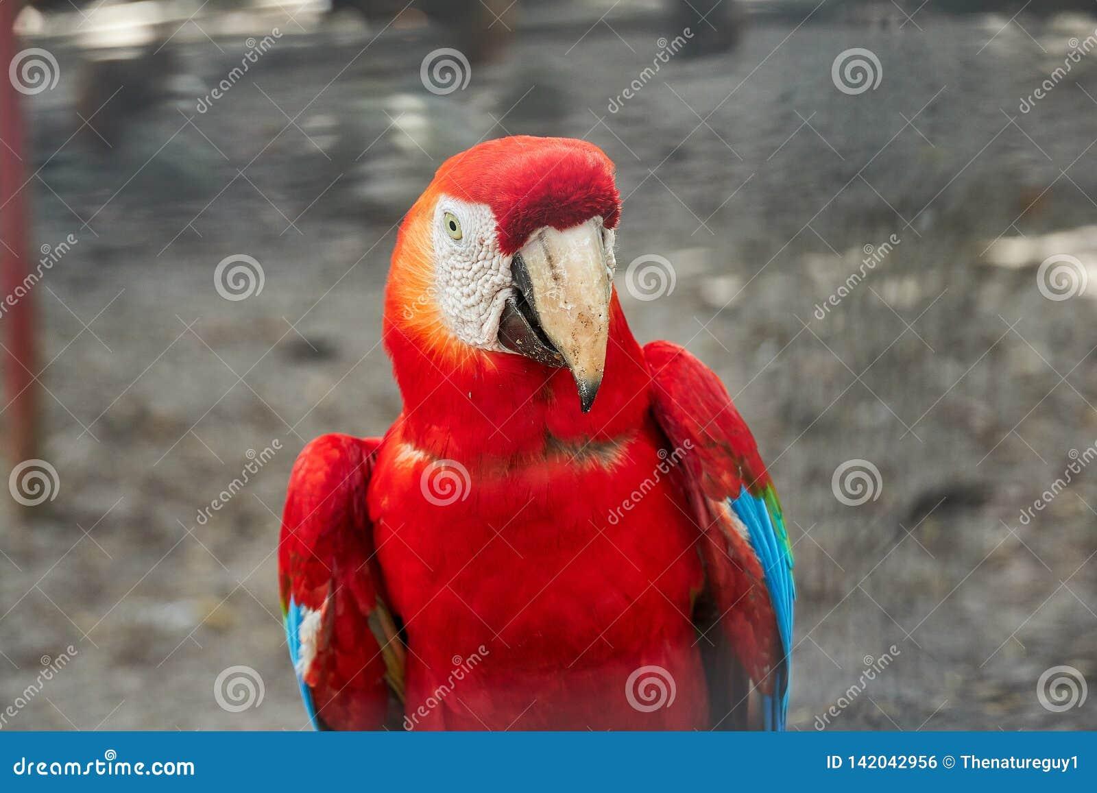 Portrait d ara coloré d écarlate La Guyane, Amérique du Sud