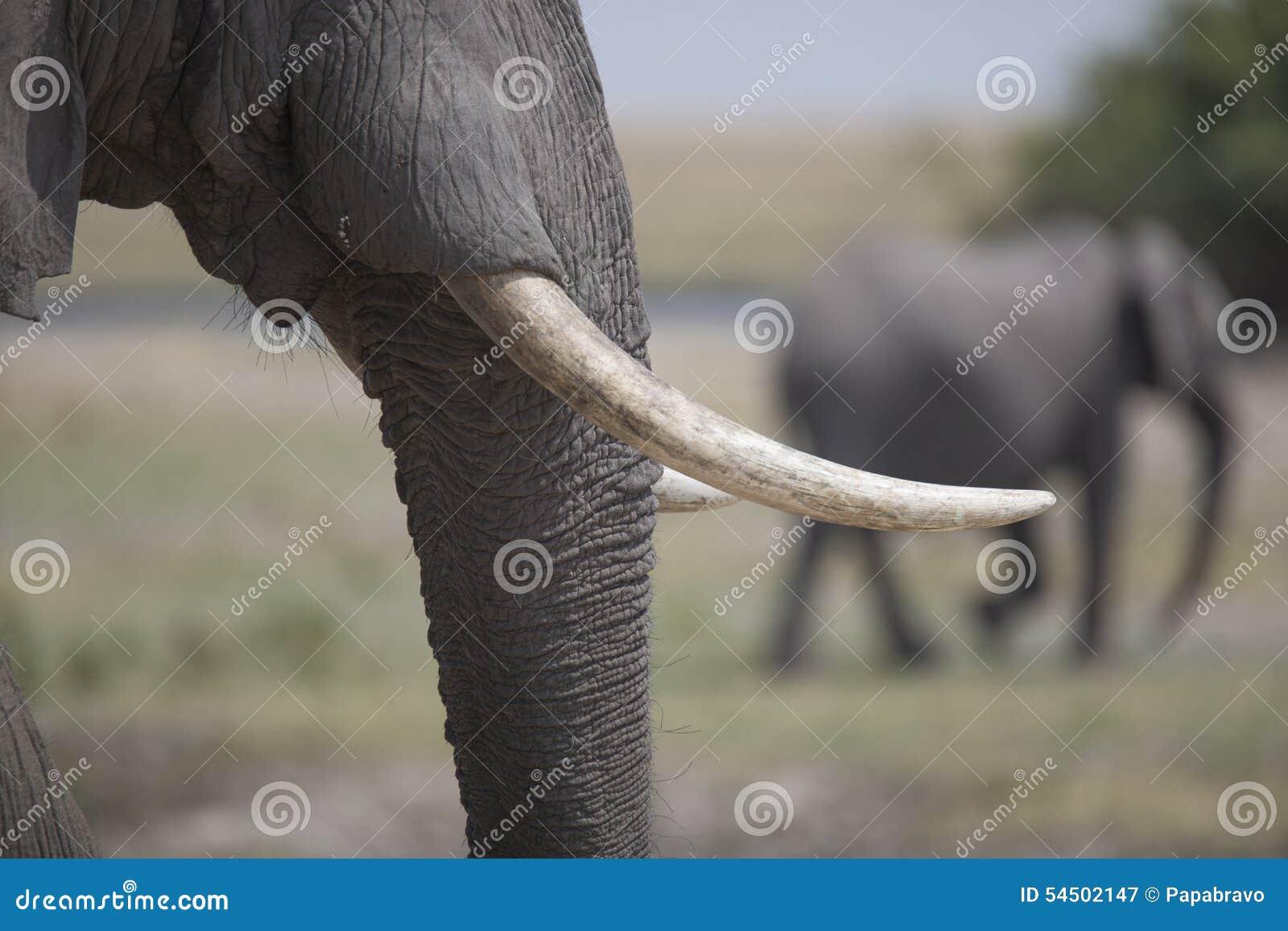 Portrait d elephantbull gratuit sauvage