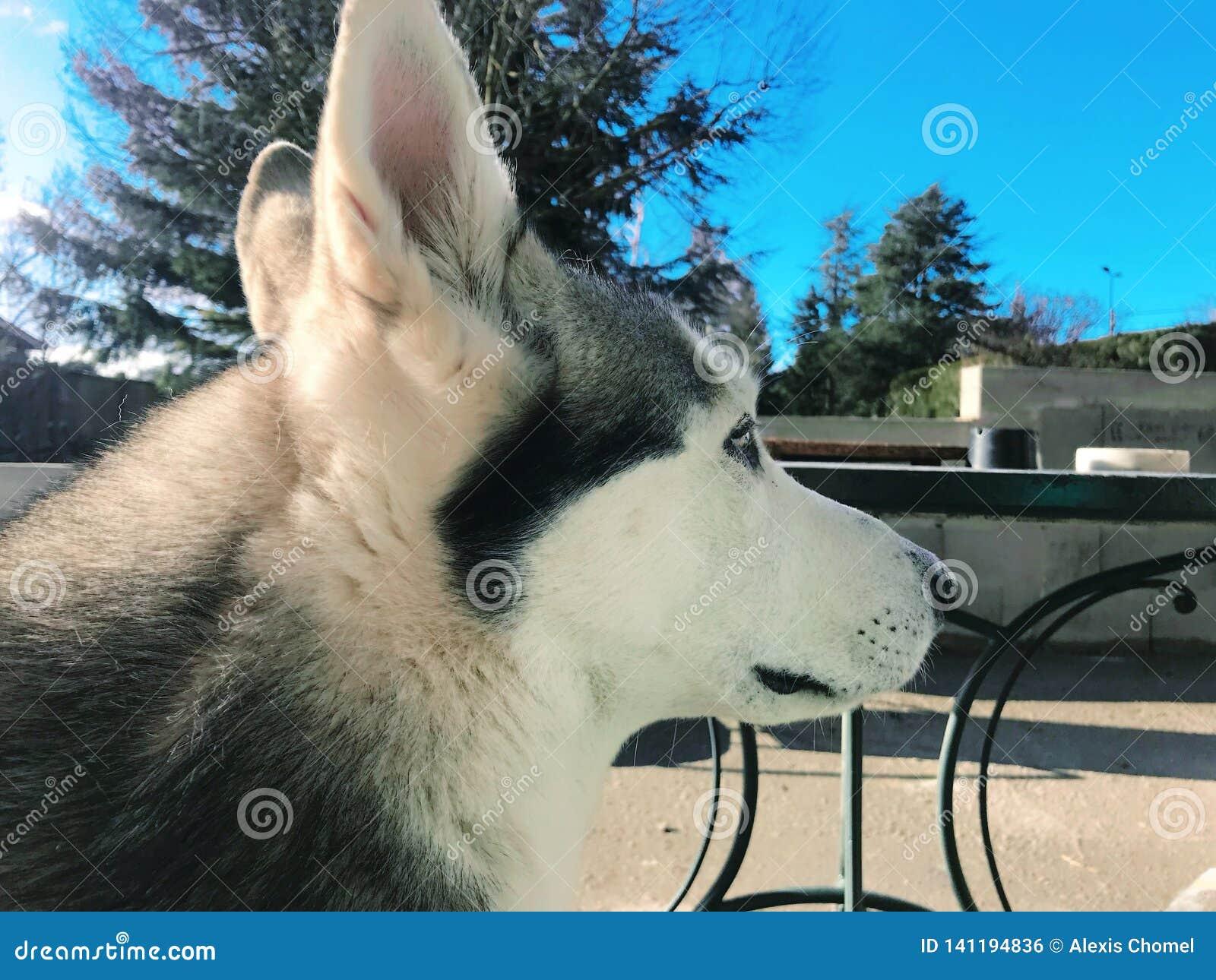 Portrait d un chien de loup avec un ciel bleu à l arrière-plan