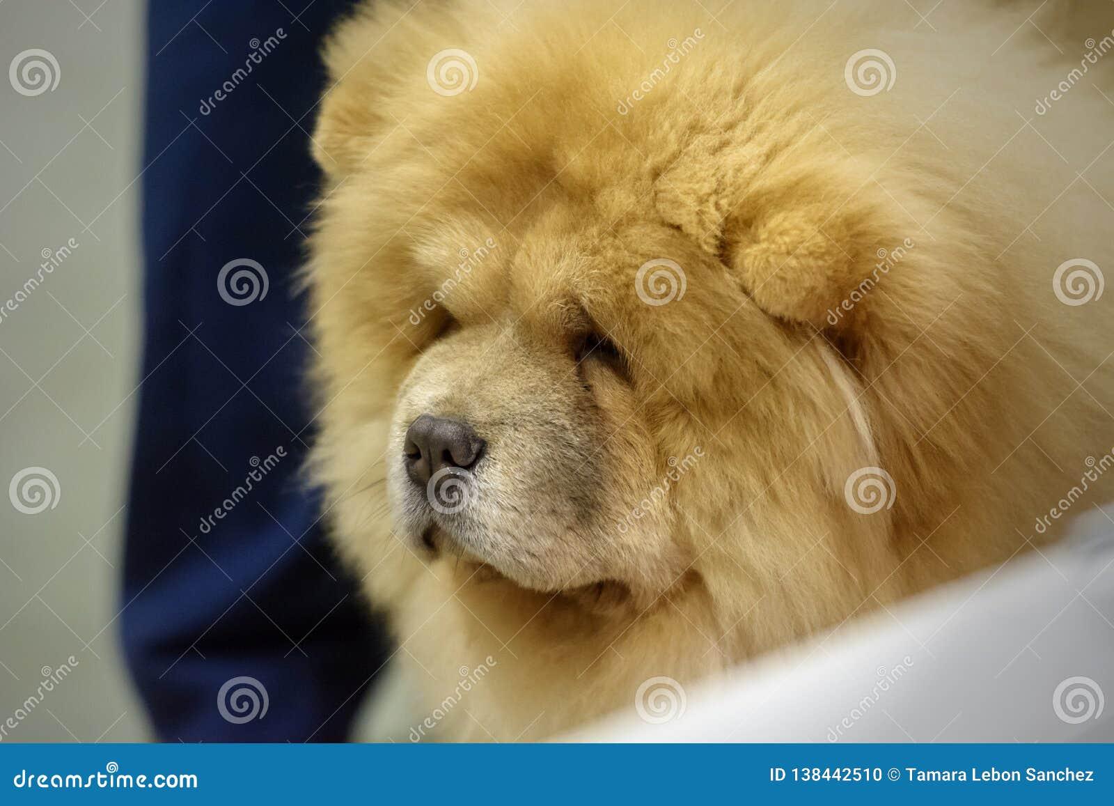 Portrait d un chien de race de chow-chow