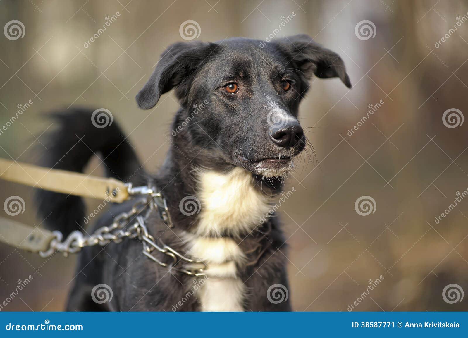 portrait d 39 un chien non de race noir et blanc image stock. Black Bedroom Furniture Sets. Home Design Ideas