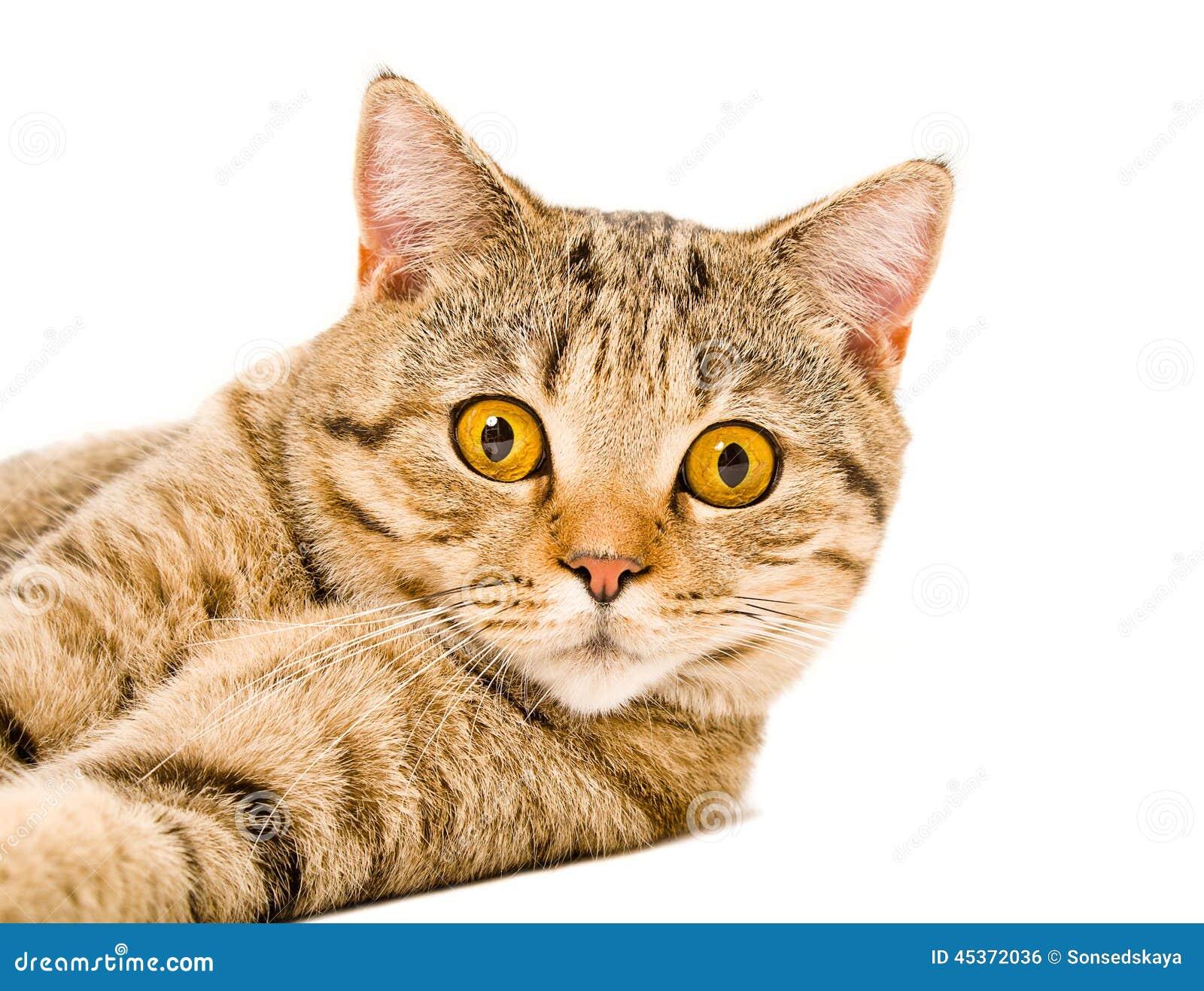 Portrait d un droit écossais de jeune chat