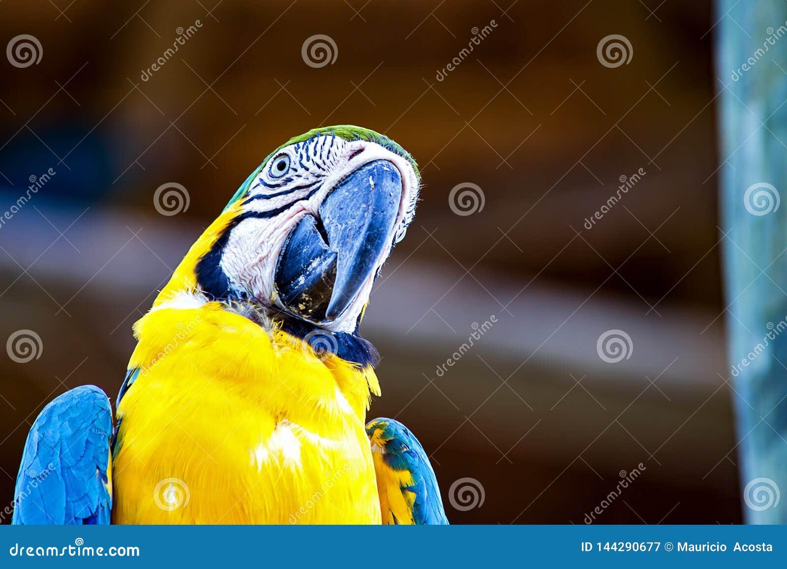 Portrait d un jaune et d un ara bleu