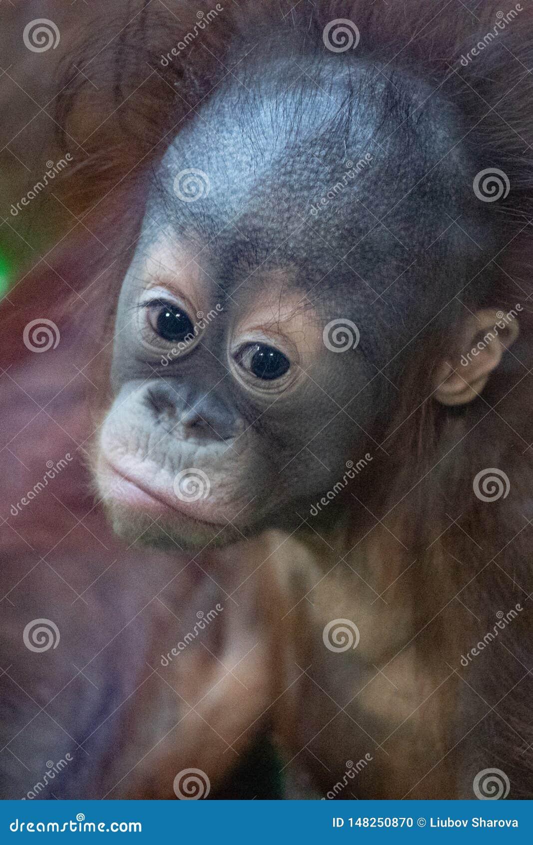 Portrait d un orang-outan orange songeur avec un visage dr?le observant paresseux ce qui se produit