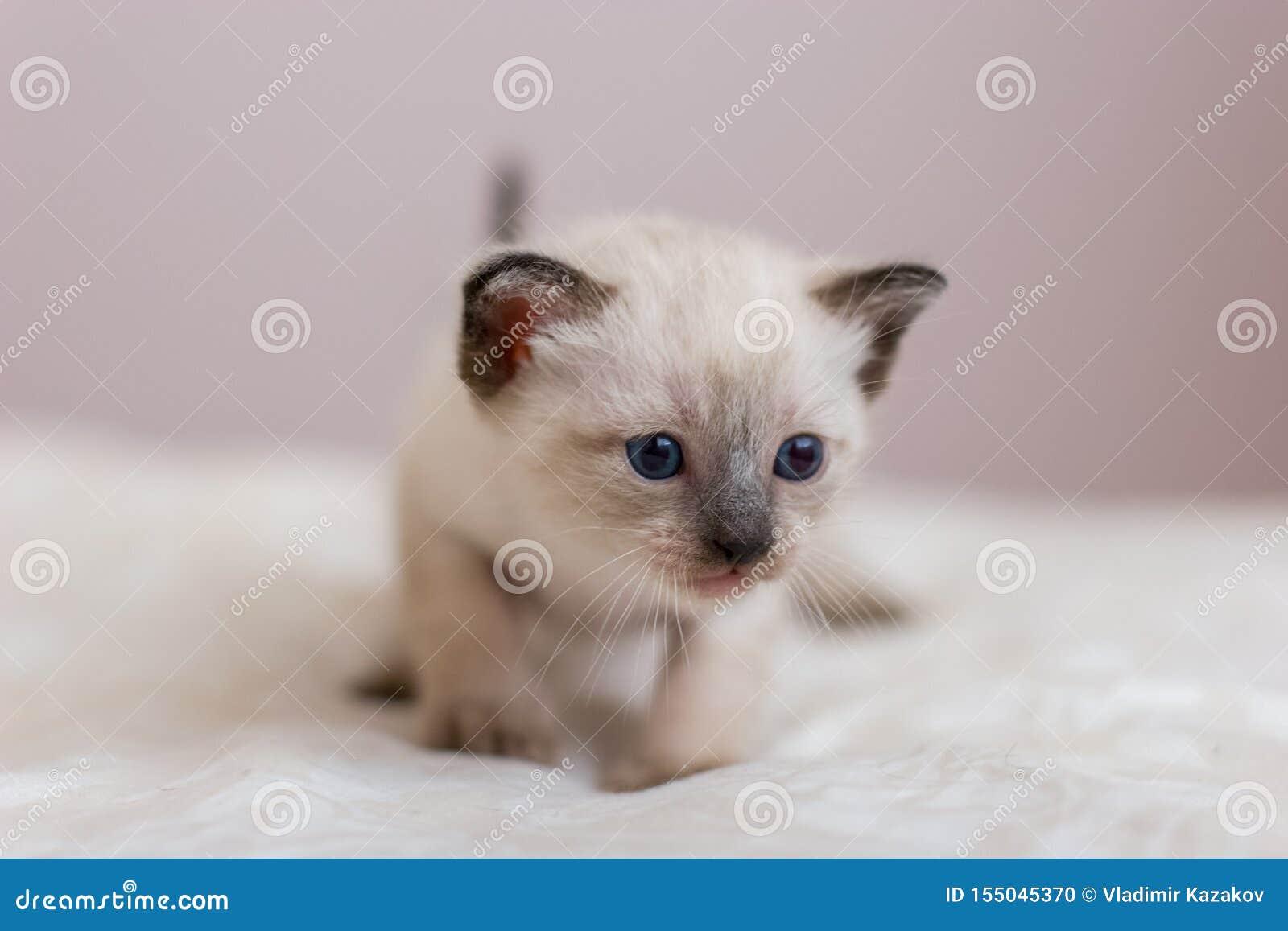 Portrait d un petit chaton siamois avec des yeux bleus, un nez brun et une longue moustache