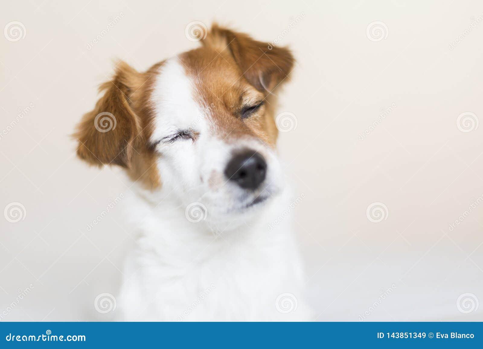 Portrait d un petit chien blanc et brun mignon se reposant sur le lit avec des yeux fermés, il se sent fatigué ou somnolent Anima
