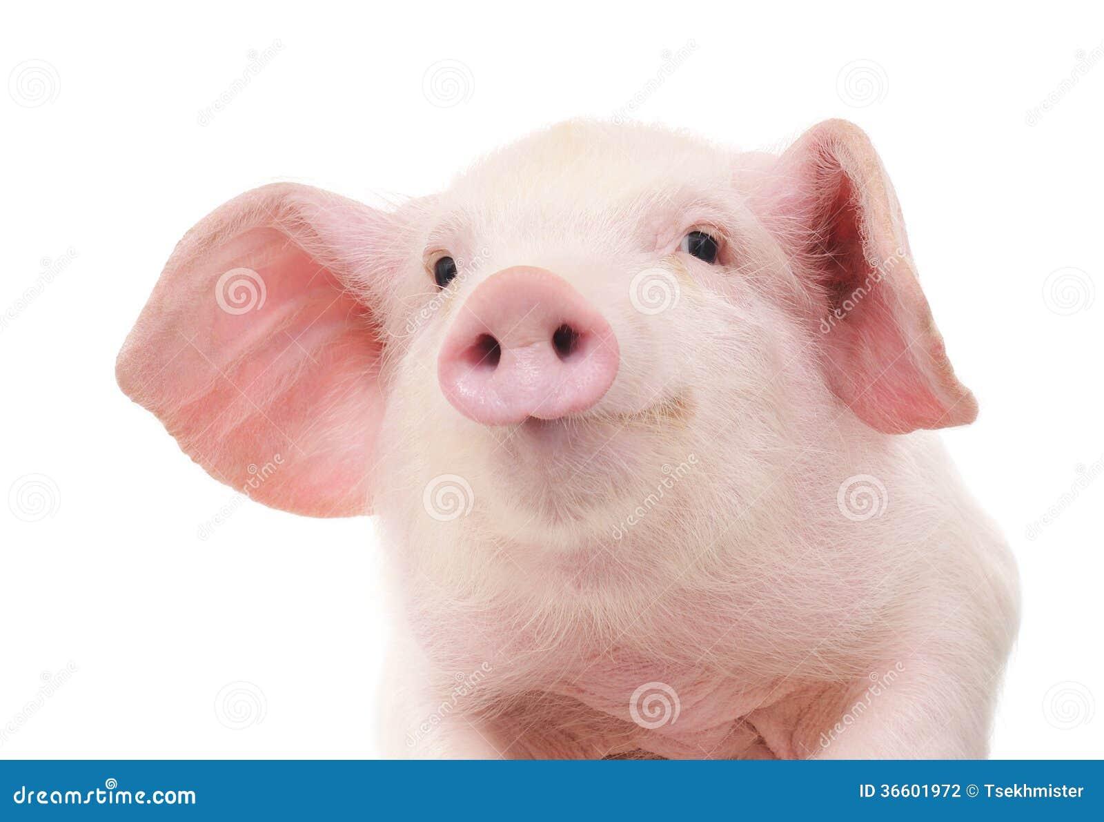Portrait d un porc