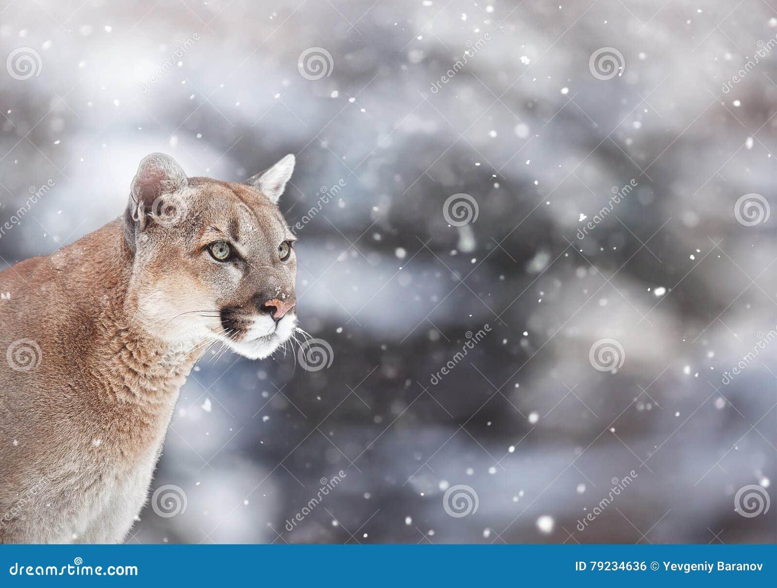 puma hiver