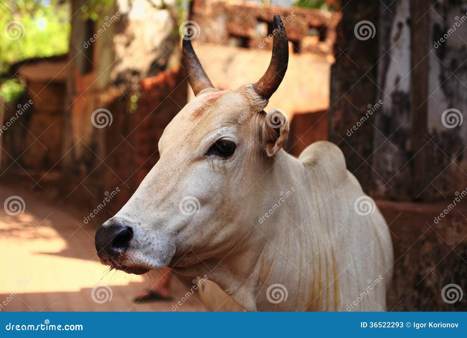 Portrait d un taureau blanc