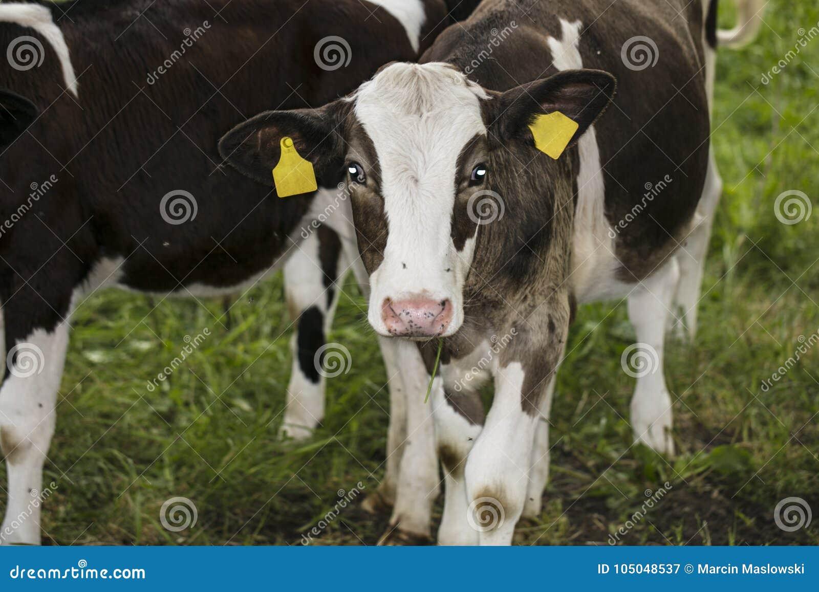 Portrait d un veau, ils regardent l appareil-photo