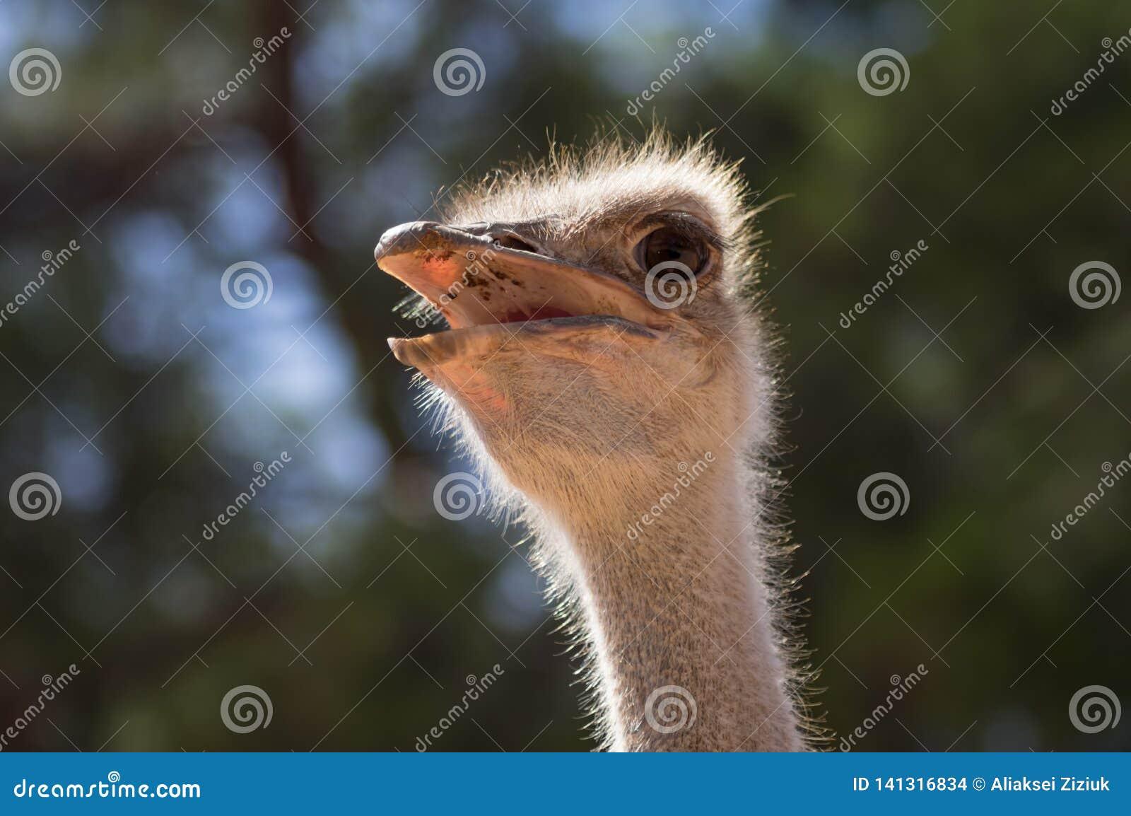 Portrait d une autruche
