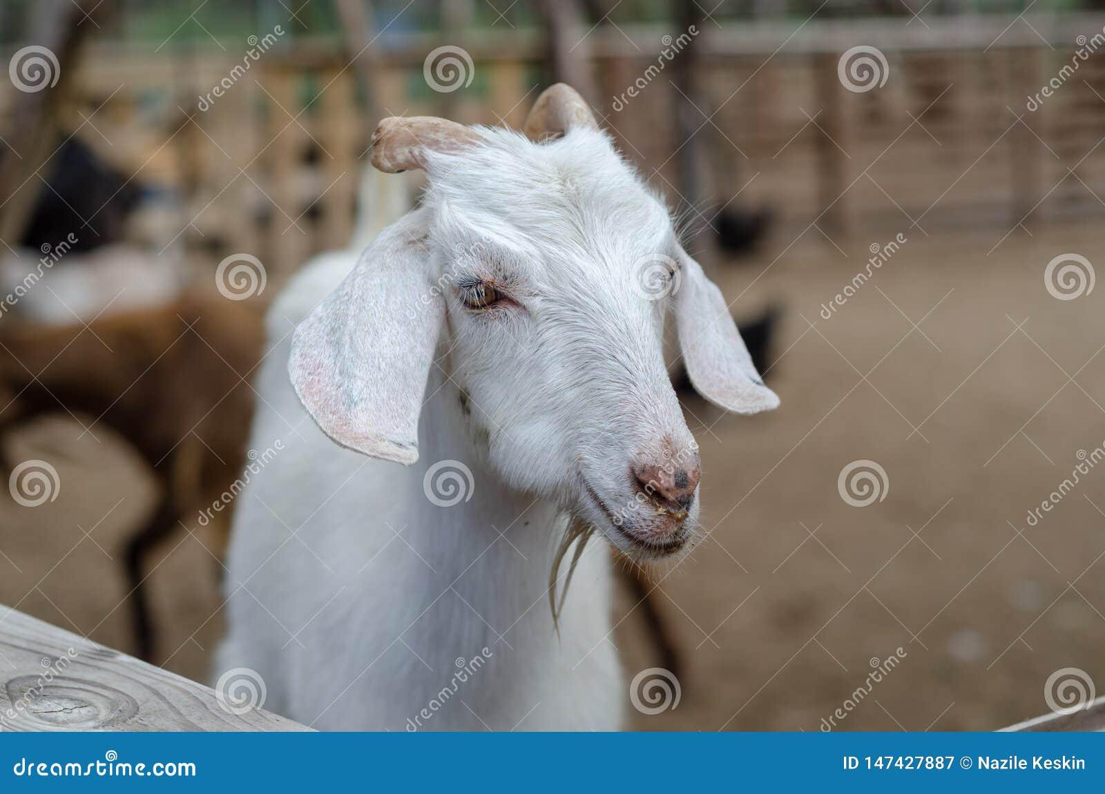 Portrait d une chèvre masculine dans une ferme