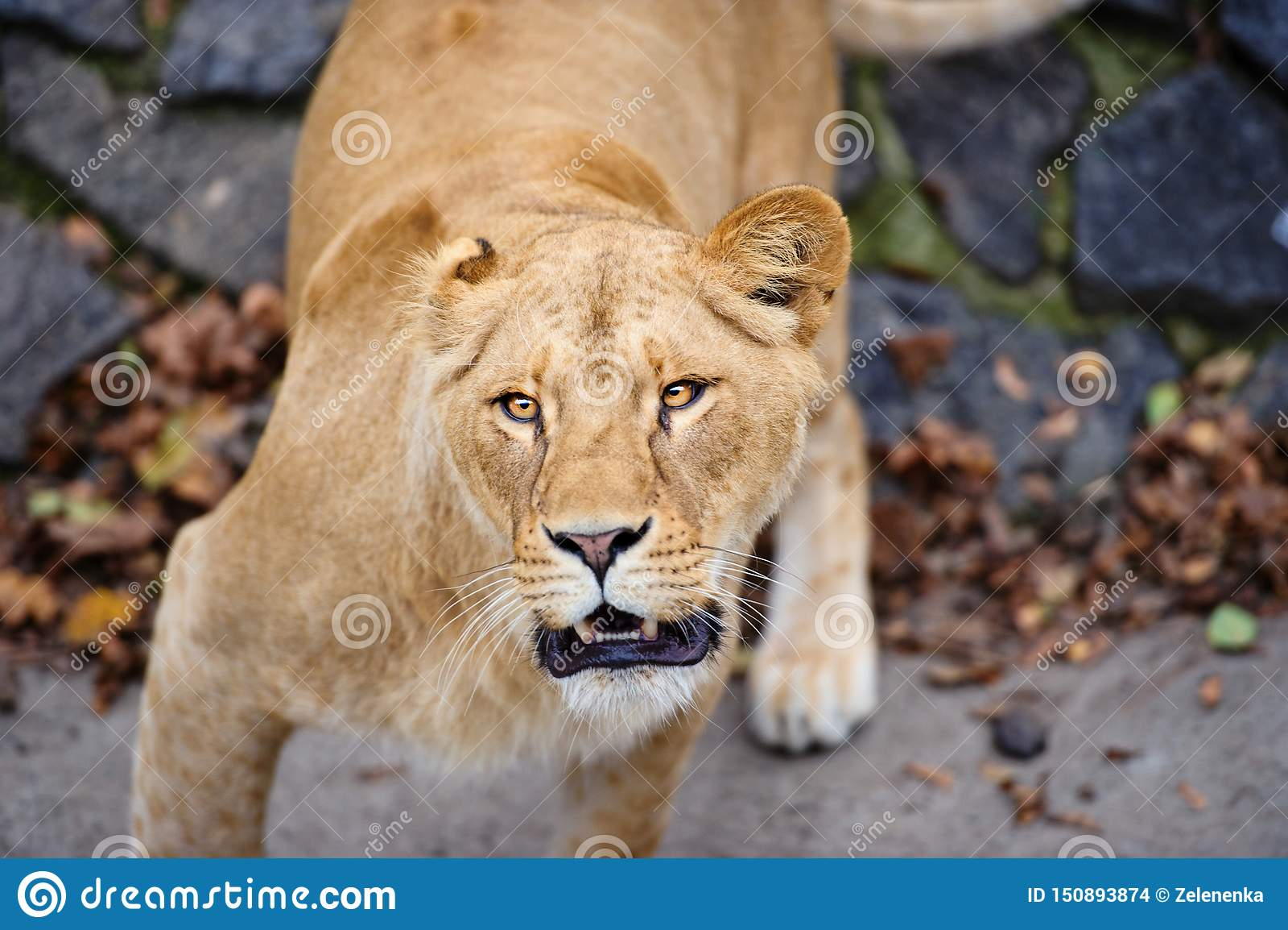 Portrait d une lionne