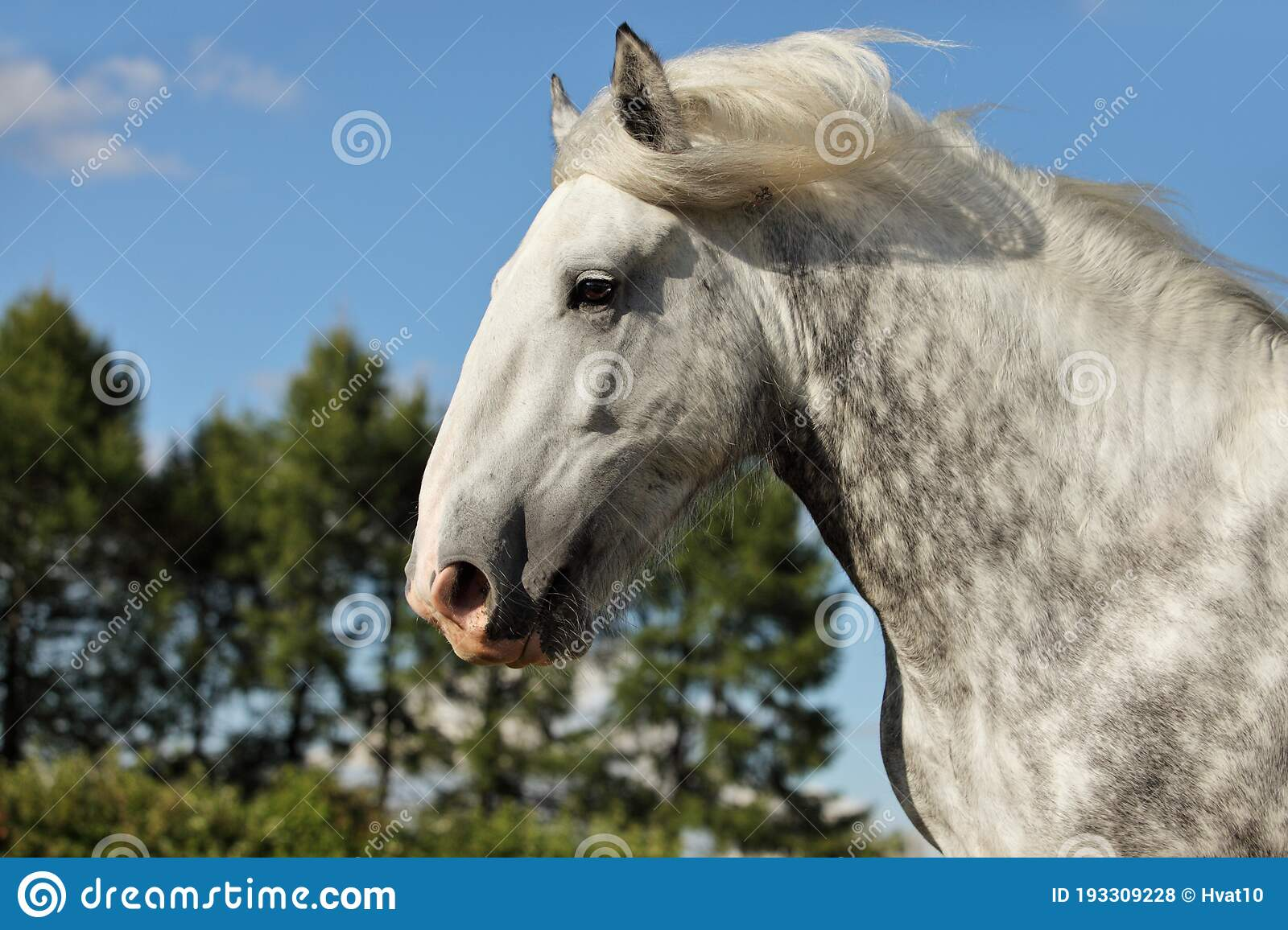 Portrait Of Dapple Gray Draft Persheron Horse Stock Photo Image Of Meadow Meadows 193309228