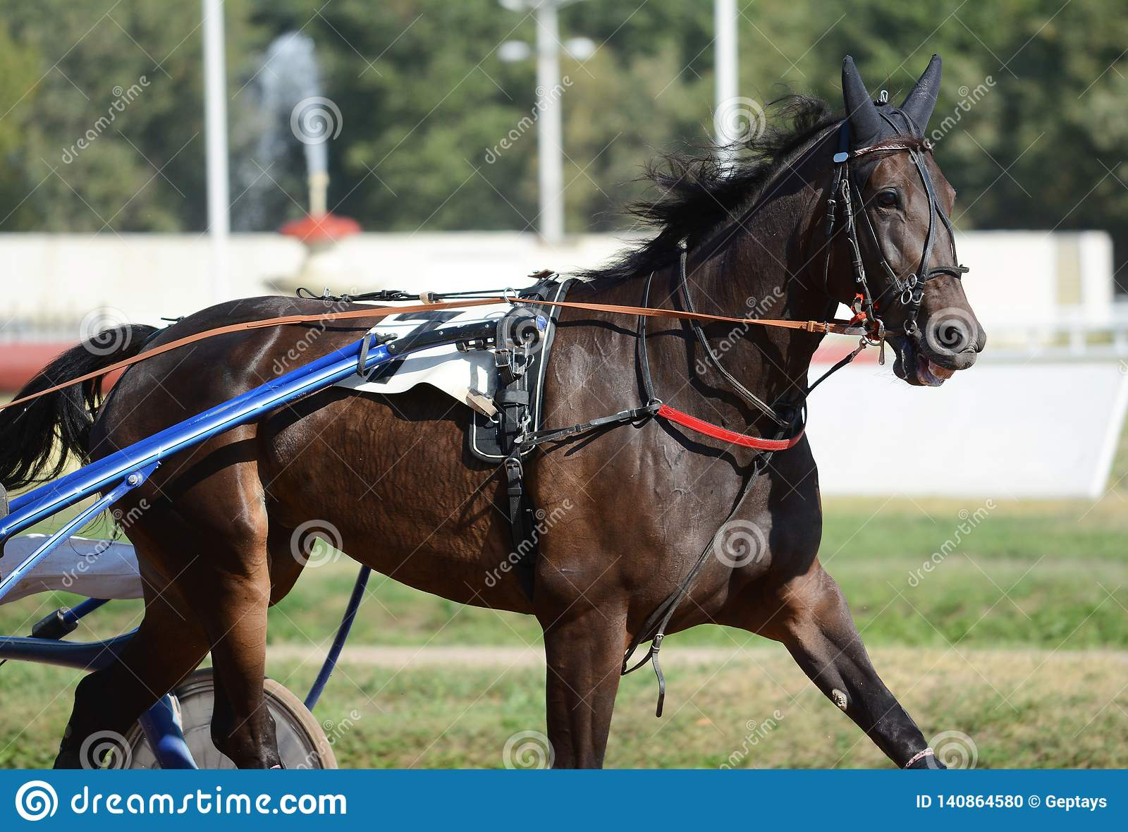 Portrait Of A Dark Bay Horse Trotter Breed In Motion On Hippodrome Stock Photo Image Of Racing Mare 140864580