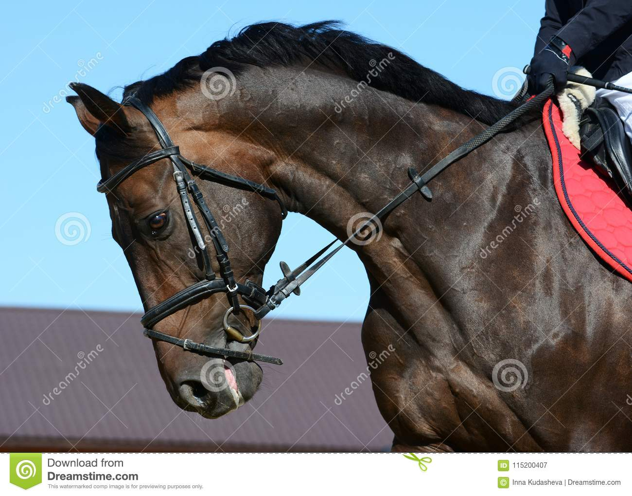 Portrait Of A Dark Bay Sport Horse In Motion Stock Image Image Of Hooves Head 115200407
