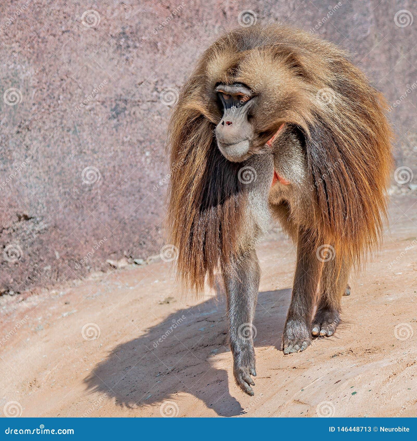 Portrait de babouin africain de mâle alpha mûr
