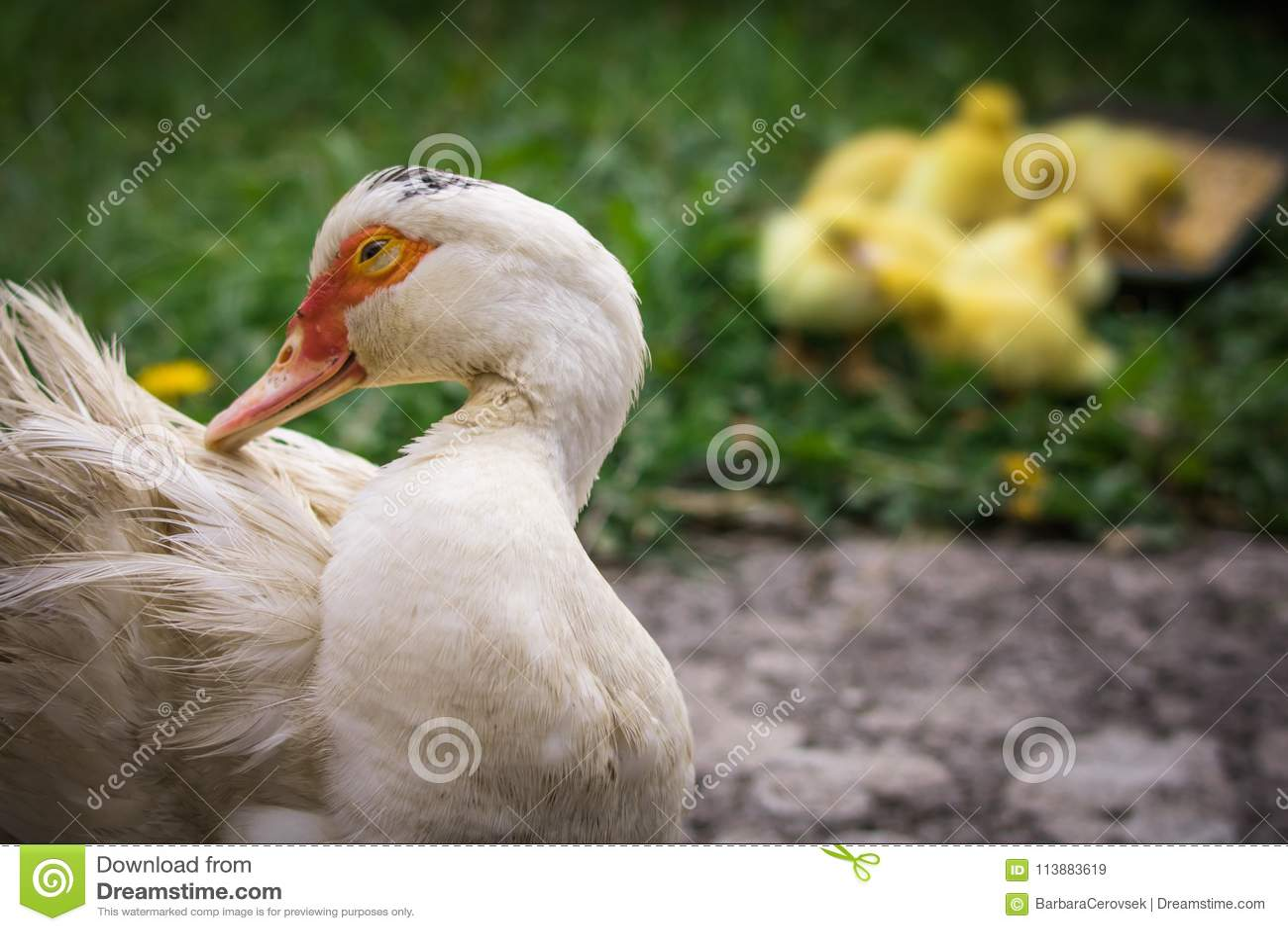 Portrait de canard de muscovy de mère et groupe de canetons pelucheux jaunes mignons de bébé à l arrière-plan, concept de la fami