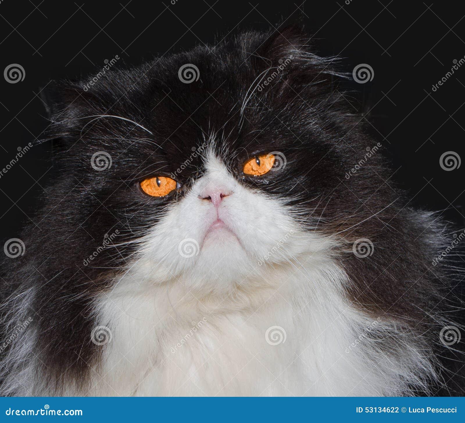 Persian Cat White And Orange