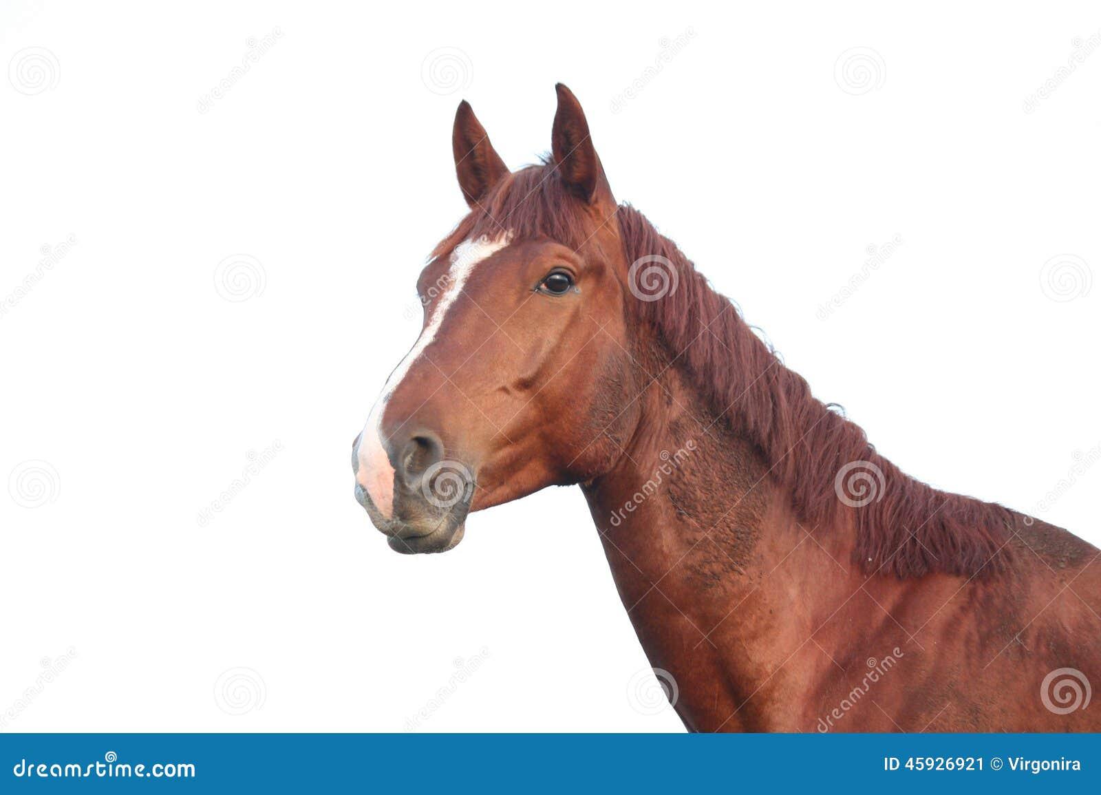 Portrait de cheval de châtaigne sur le fond blanc