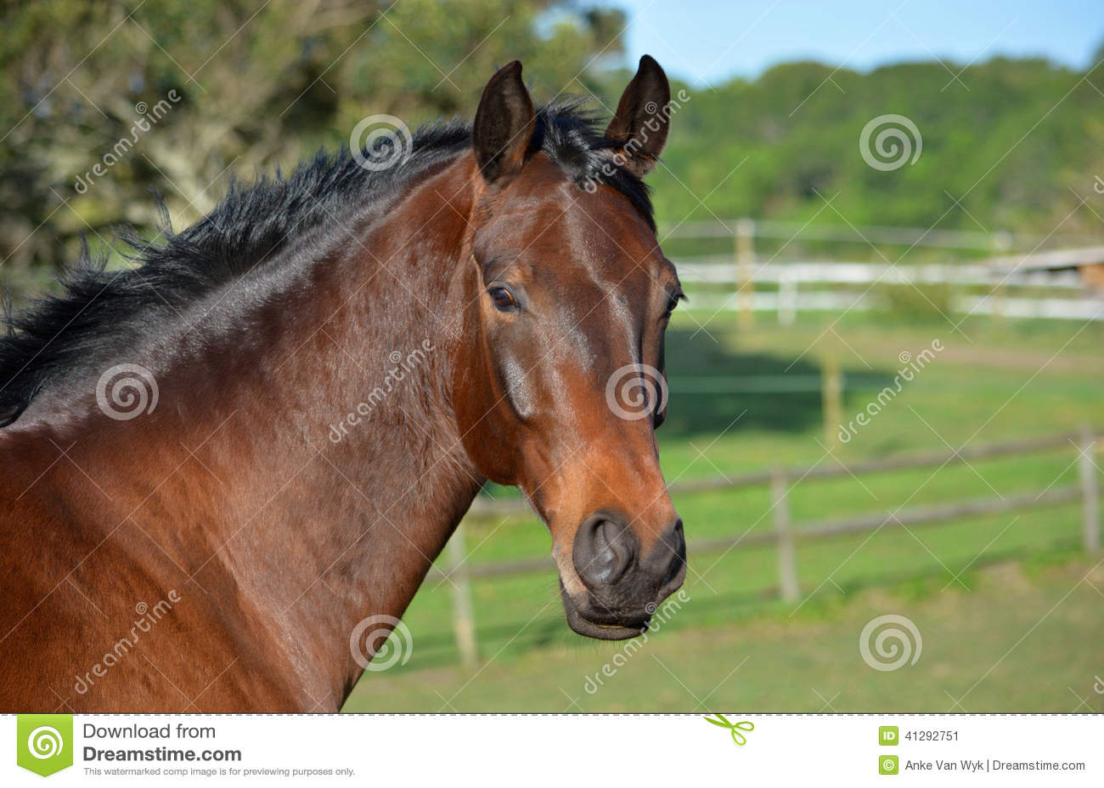 Portrait de cheval de Hanoverian