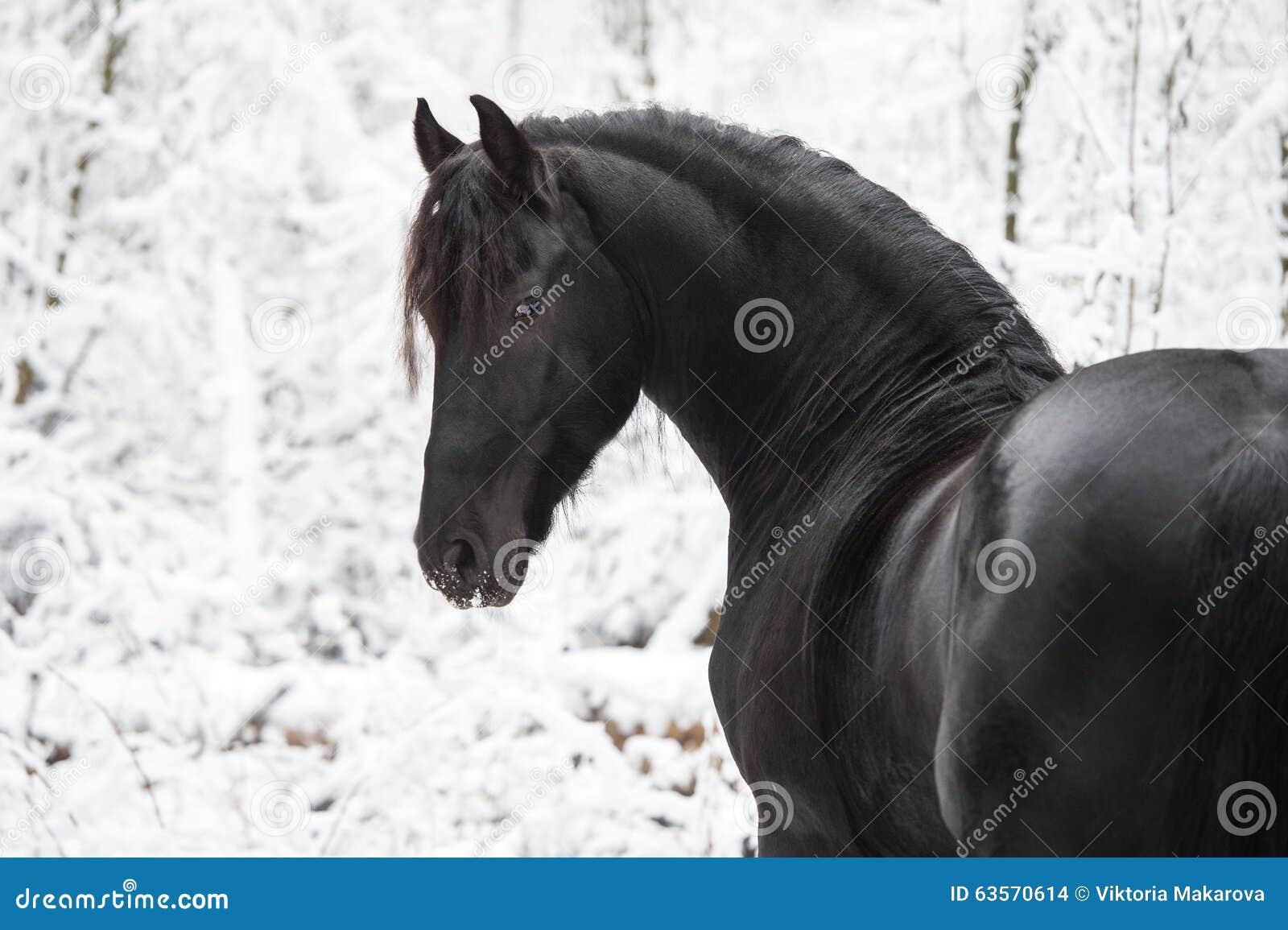 Portrait de cheval frison noir sur le fond d hiver
