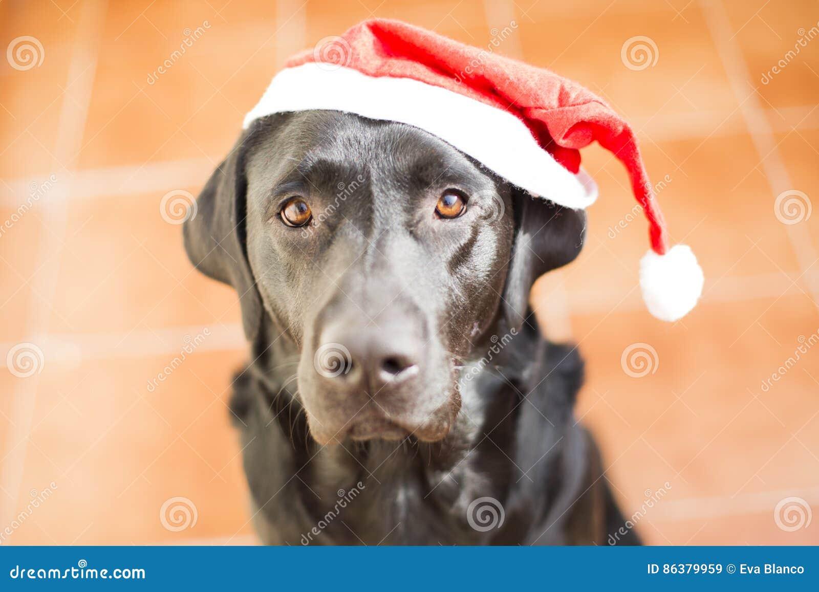 Portrait de chien avec un chapeau de Santa Vue frontale d un Labrador noir