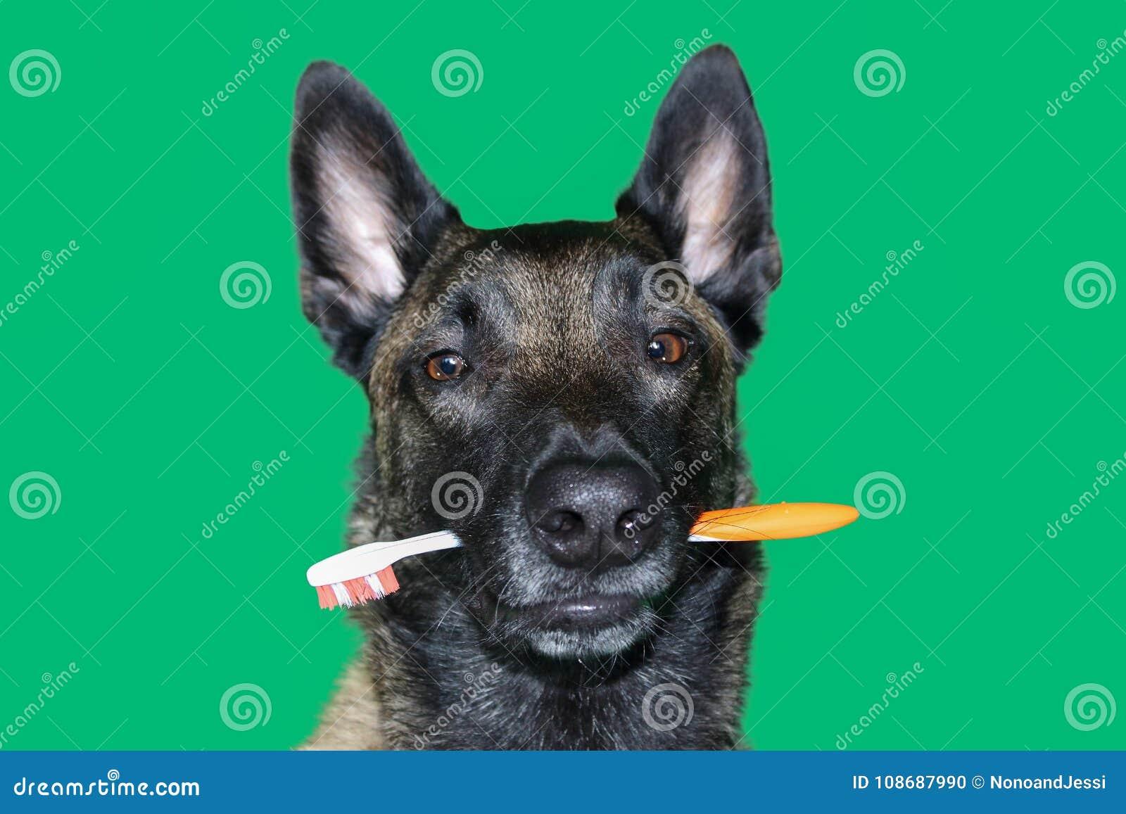 Portrait de chien de berger de Malinois de Belge avec une brosse à dents entre les dents pour l hygiène et les soins dentaires du