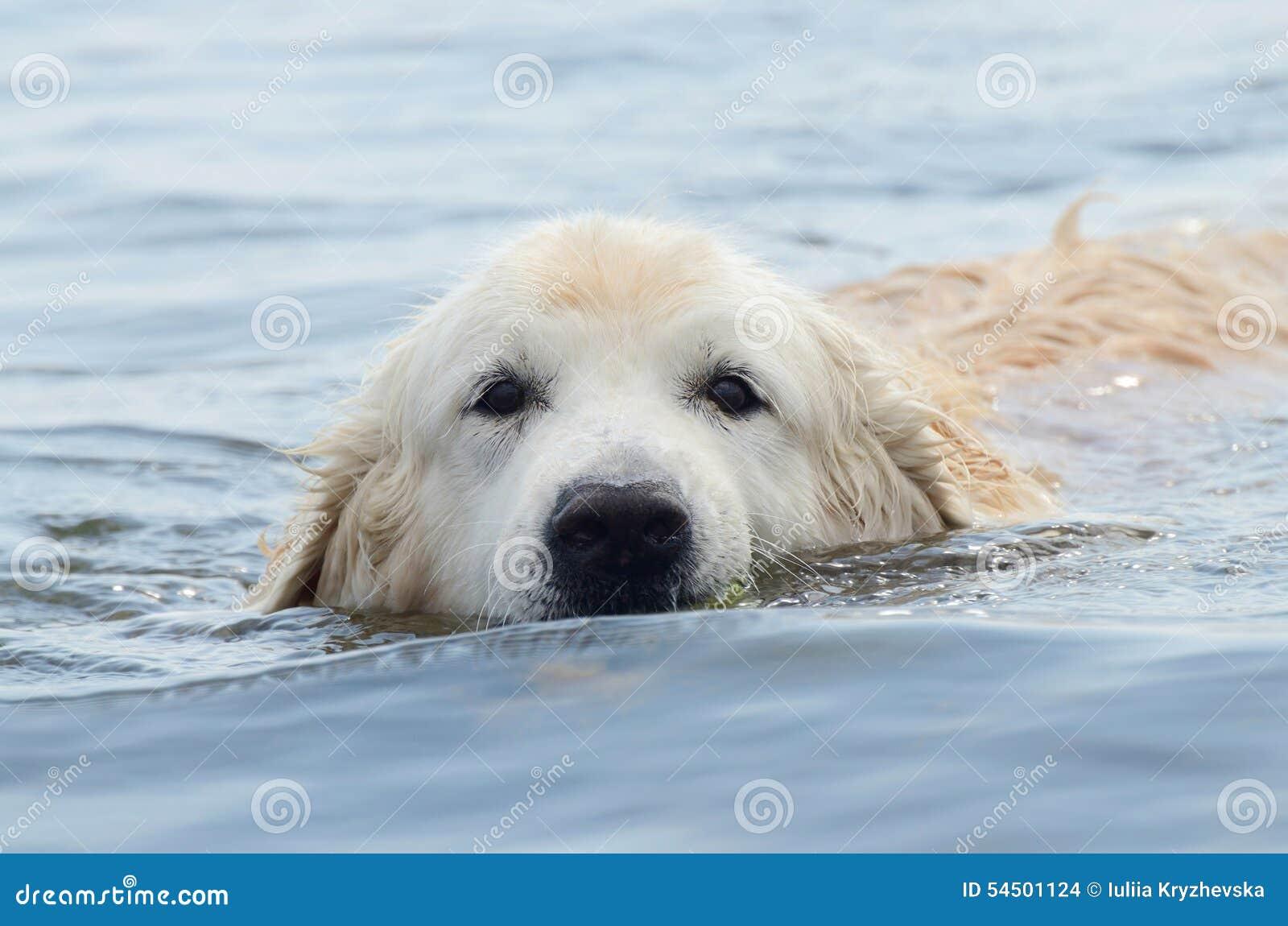 Portrait de chien bienveillant de golden retriever de natation