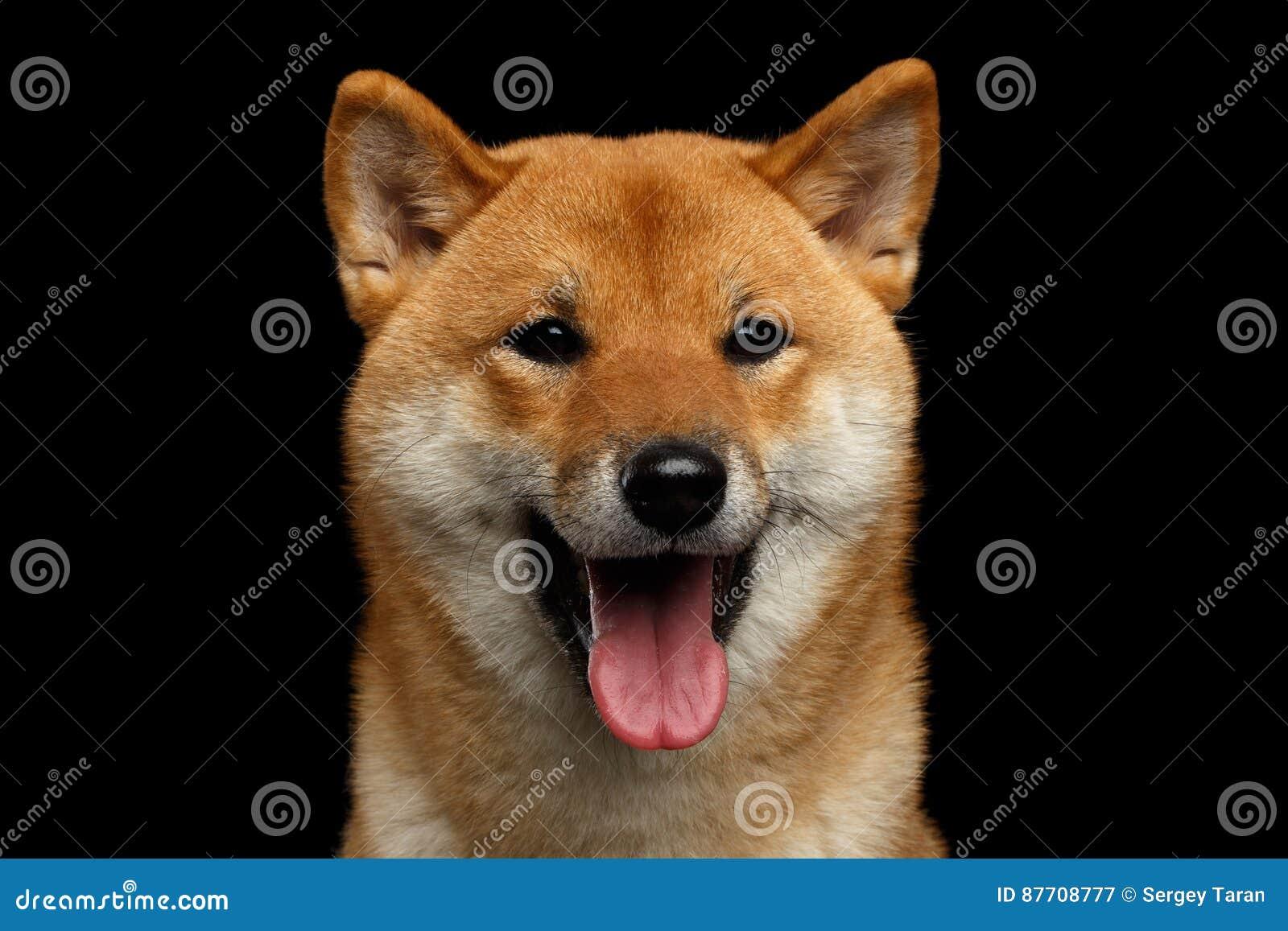 Portrait de chien d inu de Shiba de tête, fond noir d isolement