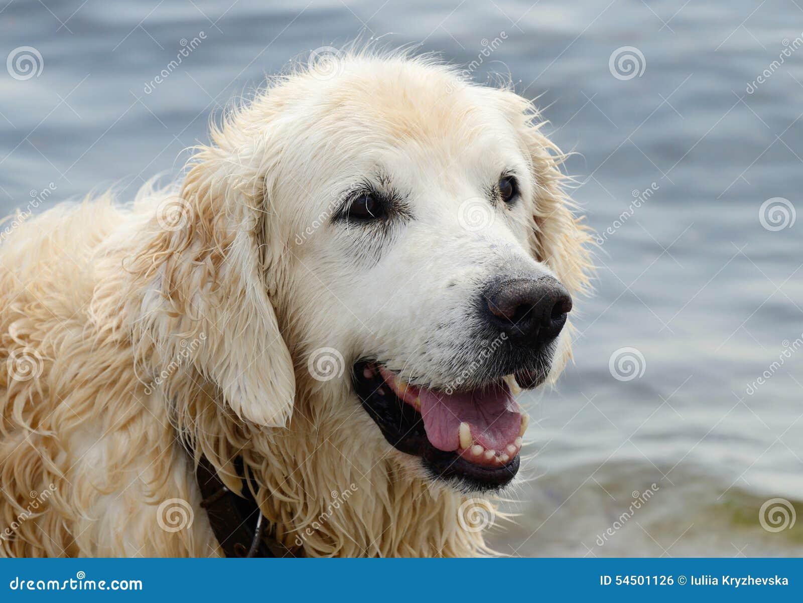 Portrait de chien humide de golden retriever après la natation en mer