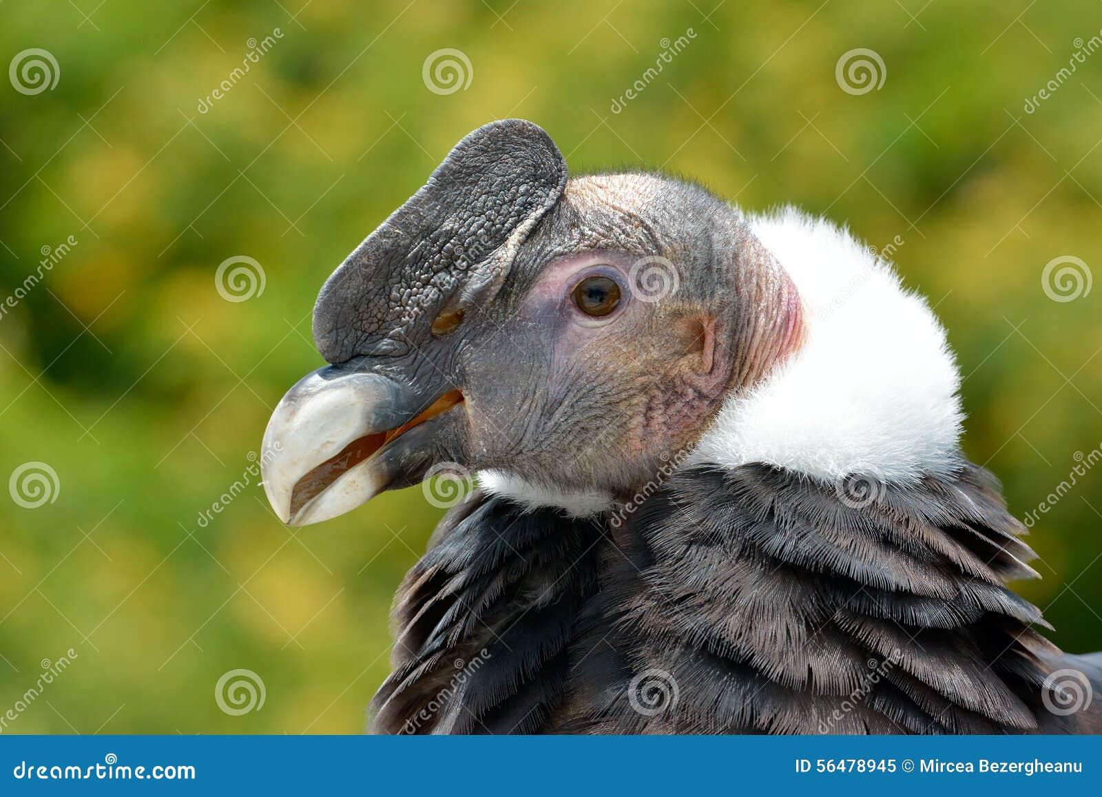 Portrait de condor andin (gryphus de Vultur)
