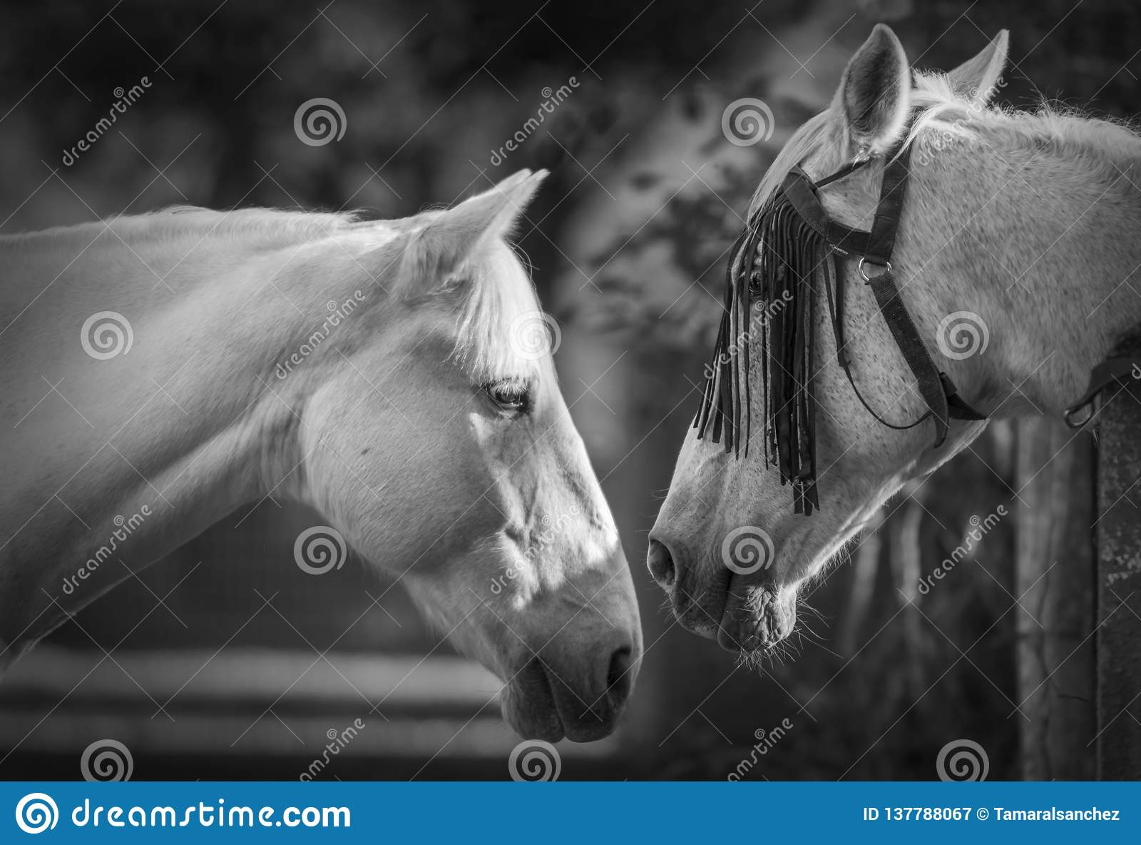 Portrait de deux chevaux blancs en noir et blanc