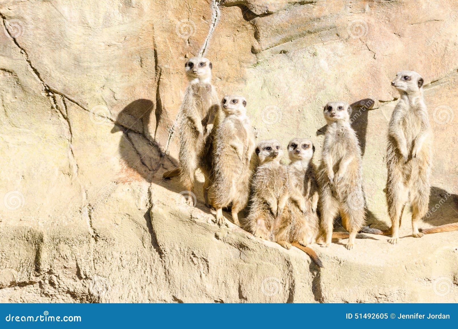 Portrait de famille d une bande de six positions Mince-coupées la queue de Meekats
