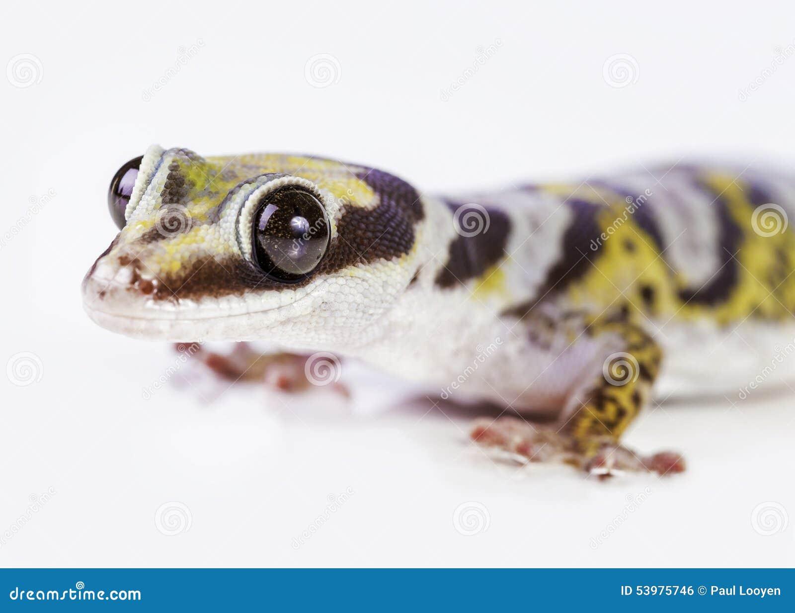 Portrait de gecko