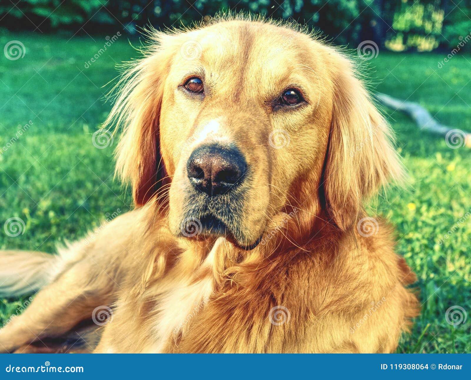 Portrait de golden retriever calme Corps sain de chien menteur futé