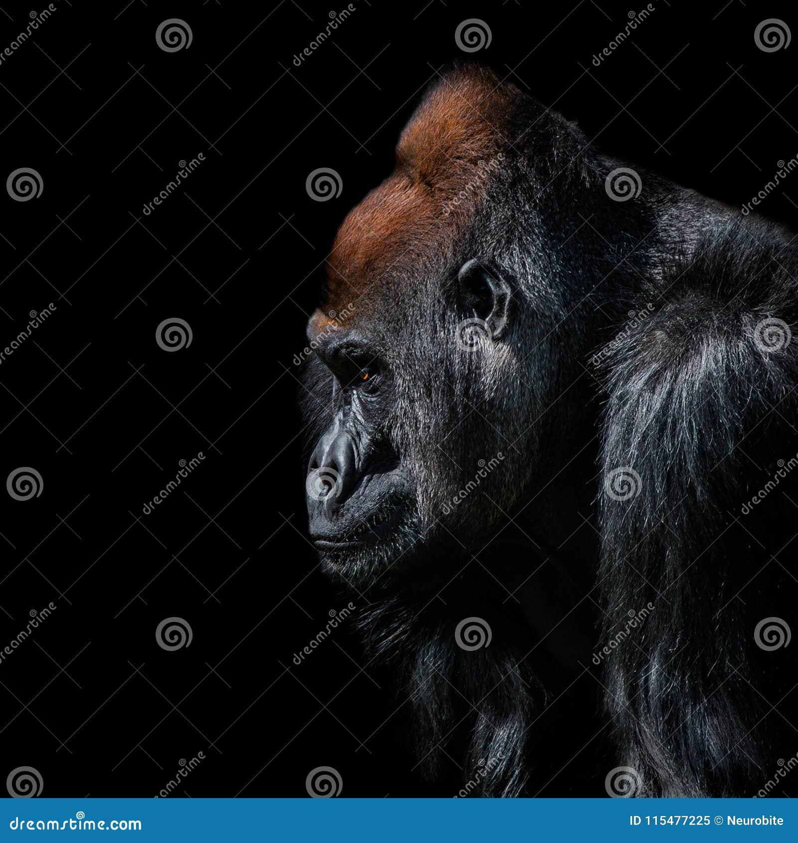 Portrait de gorille africain de mâle alpha puissant à la garde