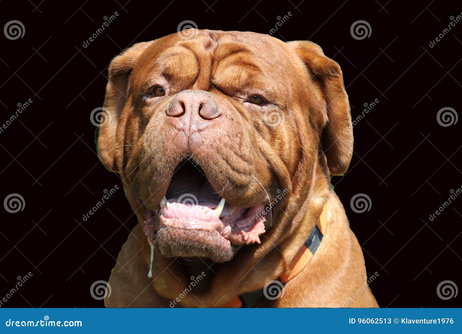 Portrait de grand chien de mastiff