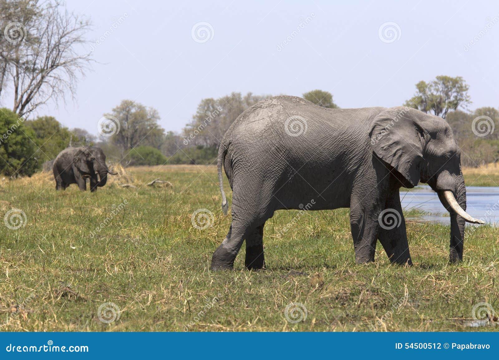 Portrait de l averse gratuite sauvage d éléphant de taureau