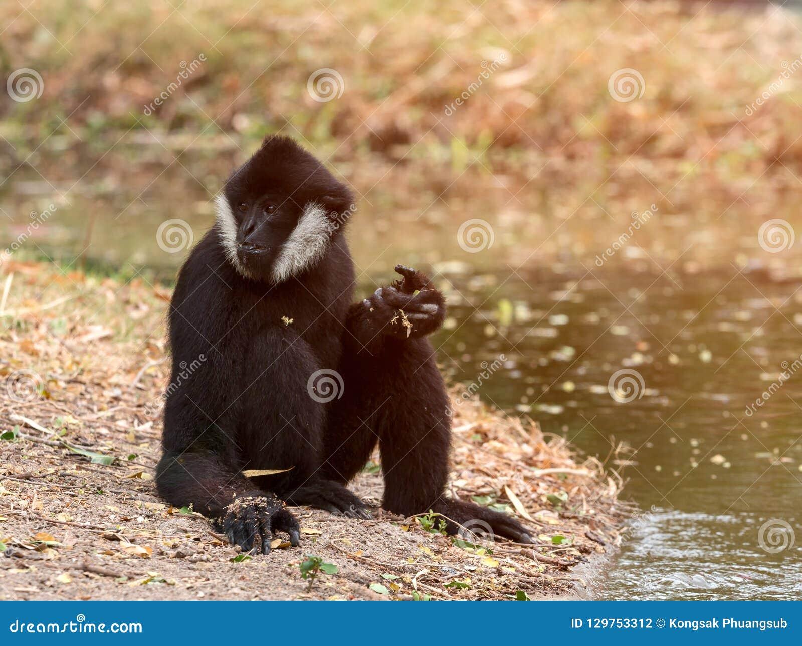 Portrait de la séance blanche-cheeked de gibbon de gibbon noir