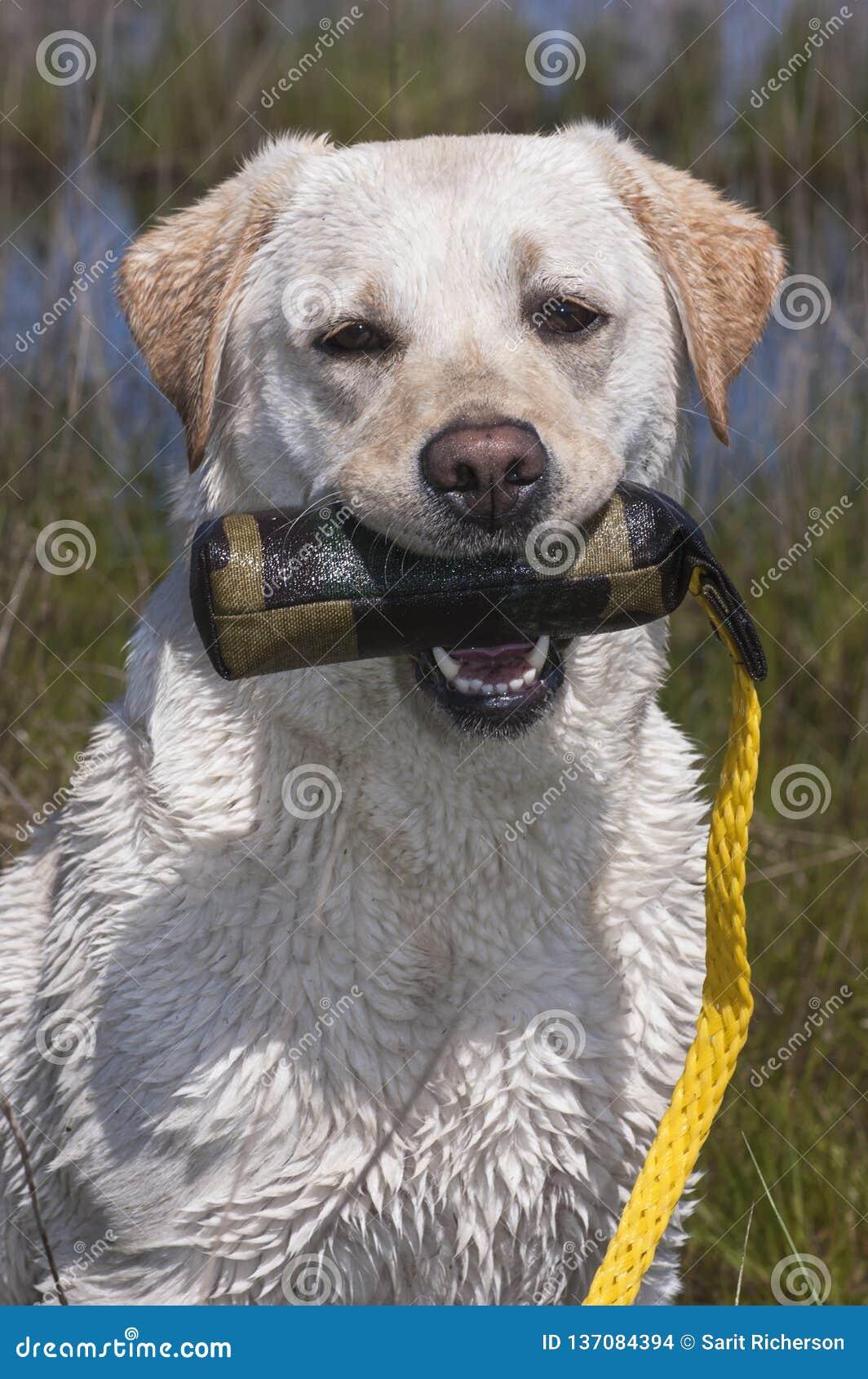 Portrait de labrador retriever fonctionnant humide tenant un jouet s exerçant