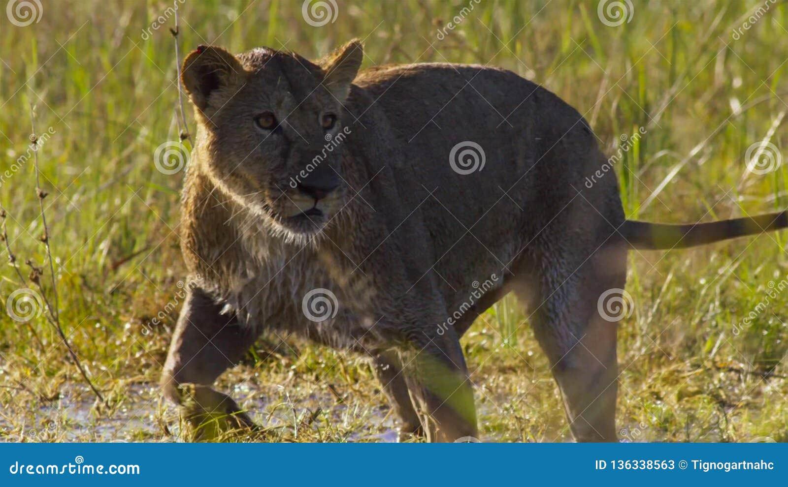 Portrait de lion dans la prairie d Okavango de delta d Okavango, Botswana, Afrique du sud-ouest