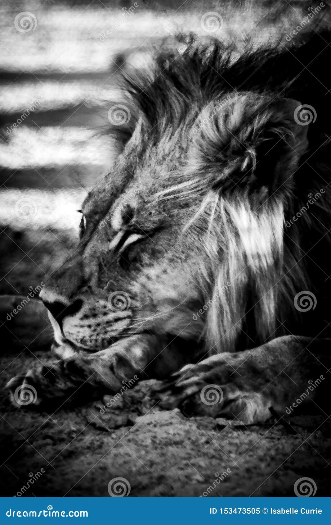 Portrait de lion de Kalahari se couchant