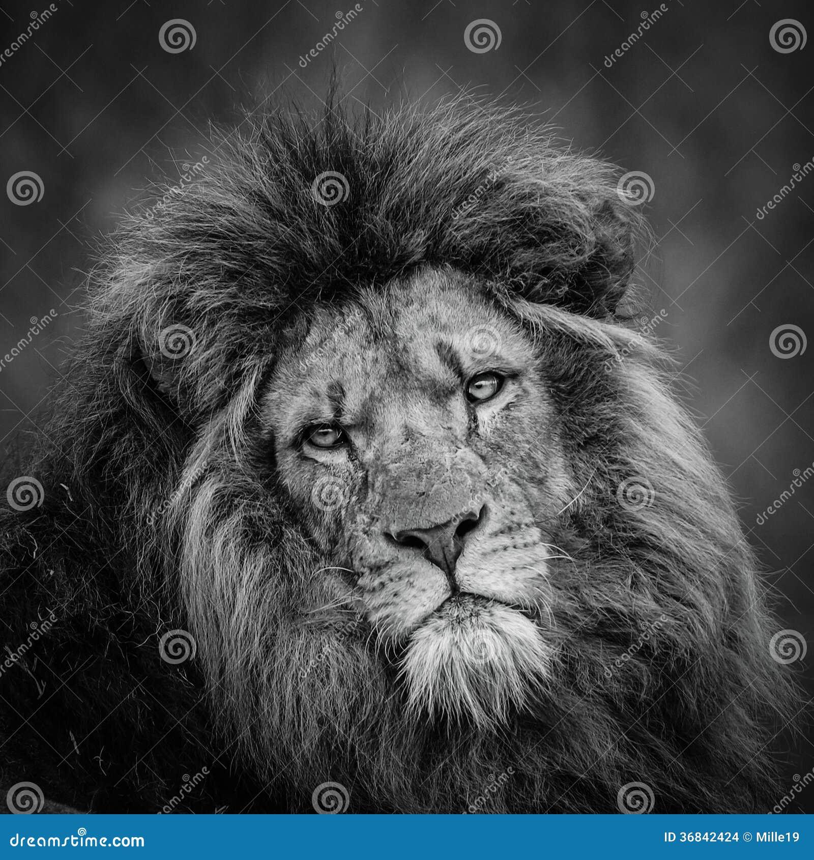 Extrêmement Lion noir et blanc photos stock - Inscription Gratuite UJ46