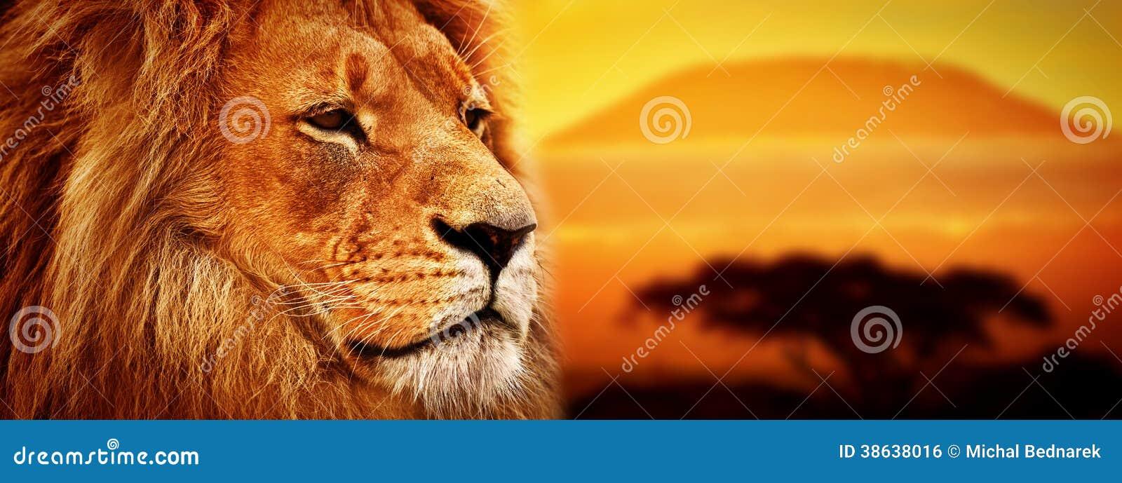 Portrait de lion sur la savane. Le mont Kilimandjaro