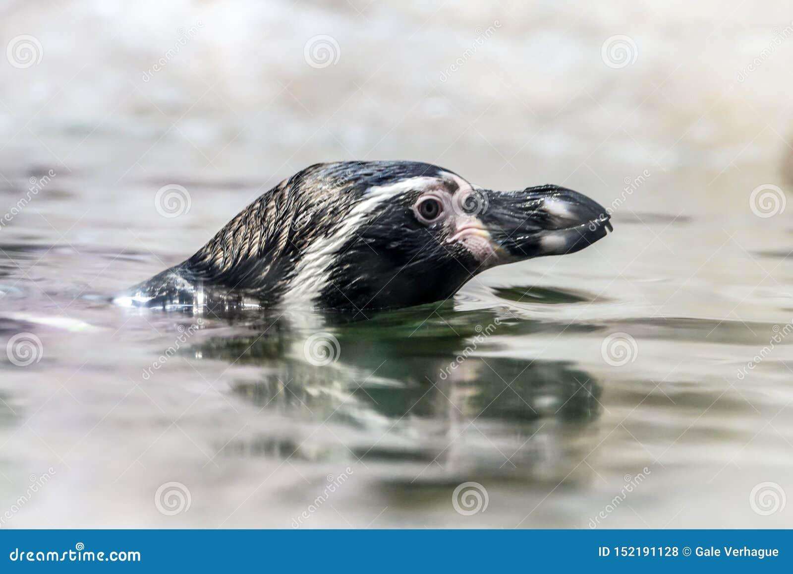 Portrait de natation de pingouin de Humboldt