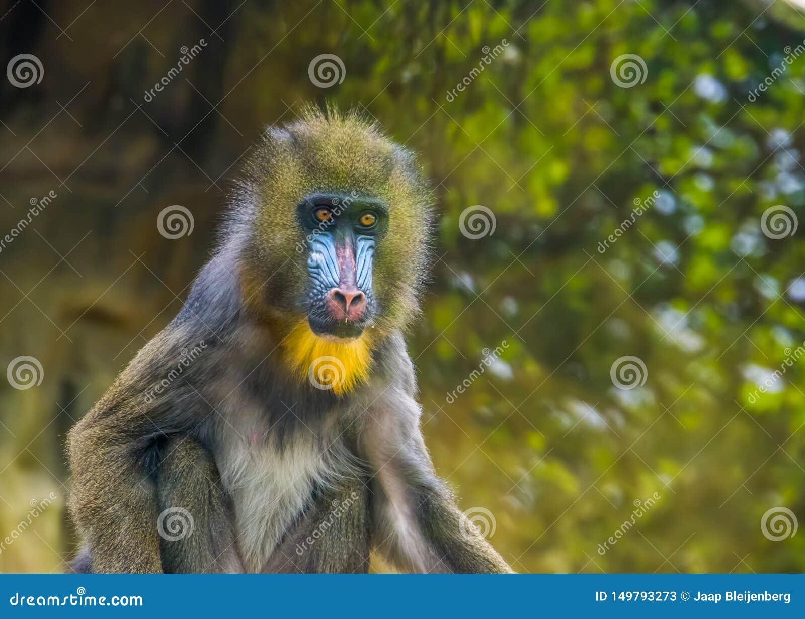 Portrait de plan rapproché d un singe de mandrill, espèce animale vulnérable, primat tropical du Cameroun, Afrique