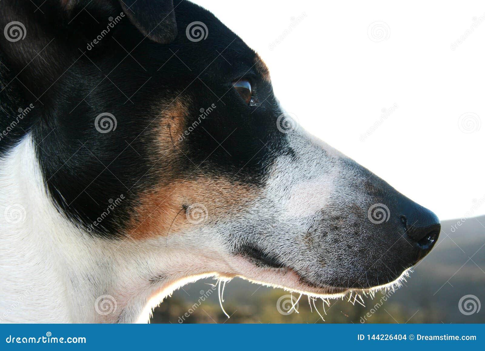 Portrait de profil de plan rapproché de chien de terrier de renard