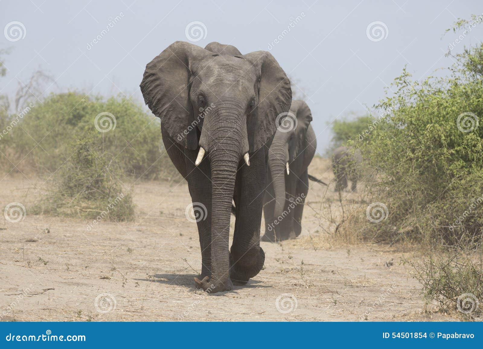 Portrait de taureau gratuit sauvage d éléphant